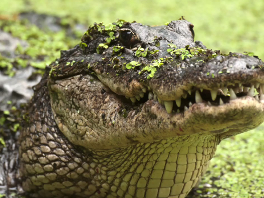 636352765192179596-alligator.png