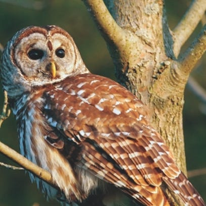 Owls often use dead trees to roost in. It's a great