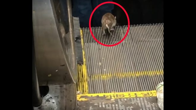 A rat in New York City attempts to run the wrong way down an escalator.