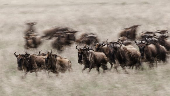 A panning shot of herd of wildebeest running in the