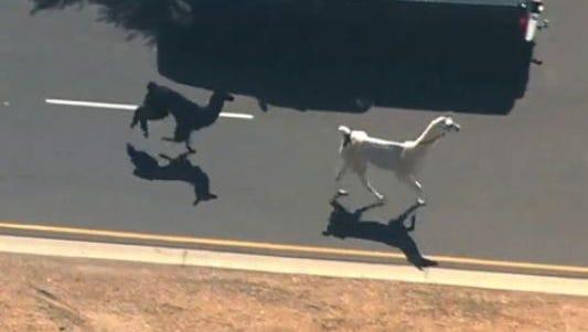 Two llamas led a chase through a neighborhood in Sun City, Ariz., Thursday, Feb. 26, 2015.