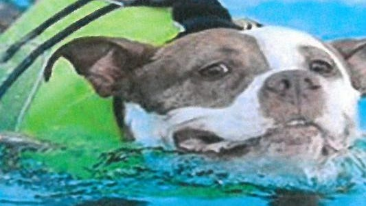 With life jacket secured, this hefty pooch tries out the pool during the Dog Days of Summer bash.