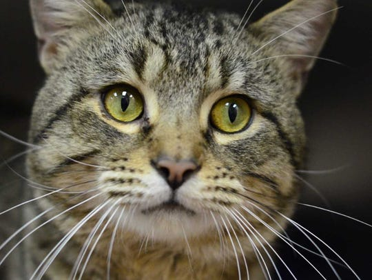 Caleb - Male domestic short hair, adult. Intake date: