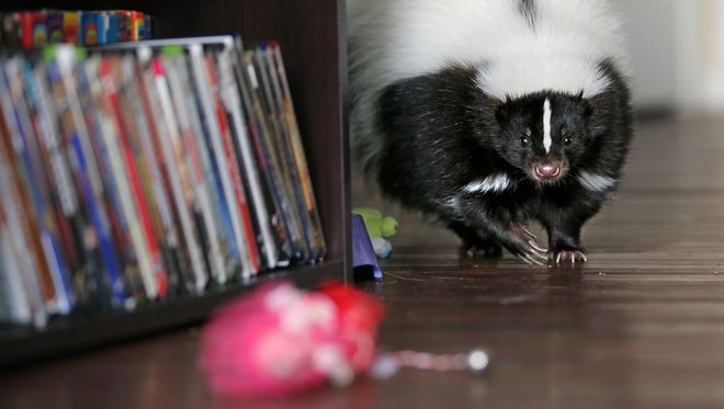 Karleigh Davenport, 22, lets her pet skunk Cruella run free inside her Fishers apartment on Thursday, July 31, 2014. The one-year-old exotic pet has been with Davenport since just after six weeks. Indiana has some of the most relaxed permit laws when it comes to owning exotic animals. Hoosiers can own just about anything, from bears and big cats, to raccoons and sugar gliders.