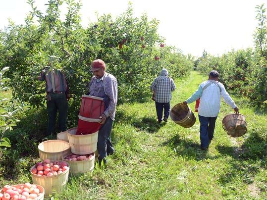 bergman apples 1.JPG