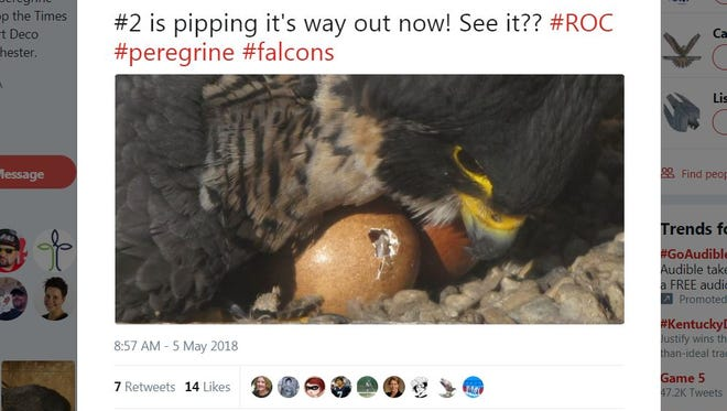 A twitter post shows a hatchling as it pips out of its egg.