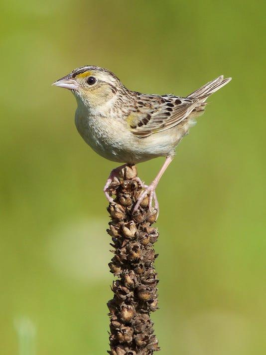 636555972060472892-Grasshopper-Sparrow.jpg