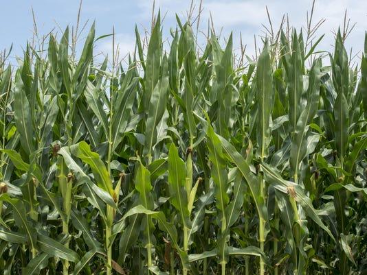 -le- Corn 8420.jpg_20140714.jpg