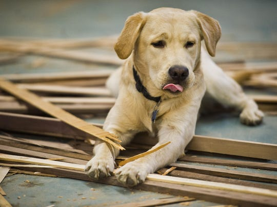 Happy -- short for Copernicus -- licks his lips after chewing on some choice scrap wood at Vermont Farm Table's wood shop in Bristol while his owner, Travis Herben, buffs out hand-made cutting boards.