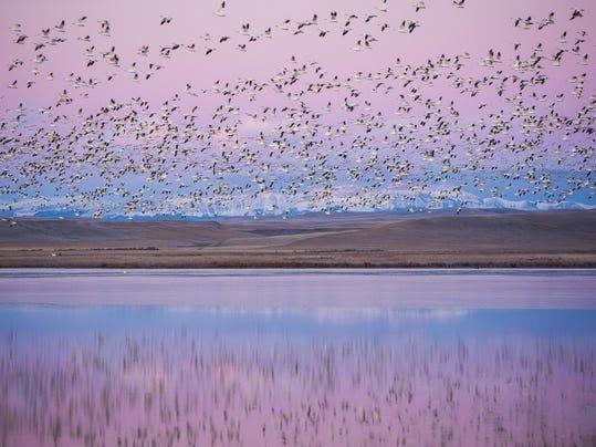 Freezeout Lake Snow Goose Migration