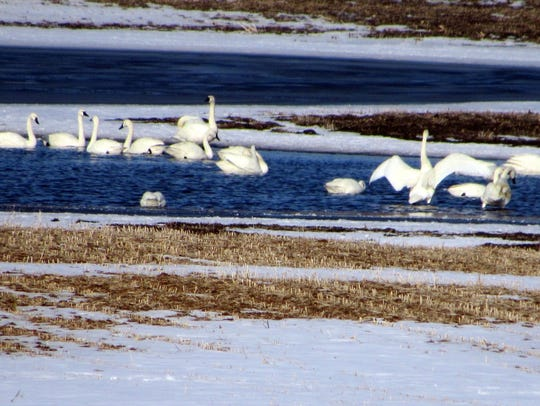 A group of Tundra swans enjoy the water collecting