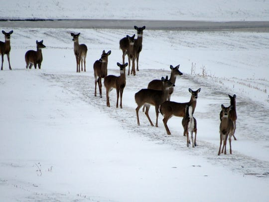 A group of deer venture out of the woods after the recent snowfall and gather along the lane on the Manzke farm.