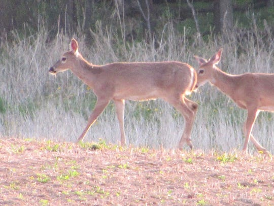 A Bayfield County hunting ranch was released from quarantine with no CWD detected in any other deer depopulated on the farm.