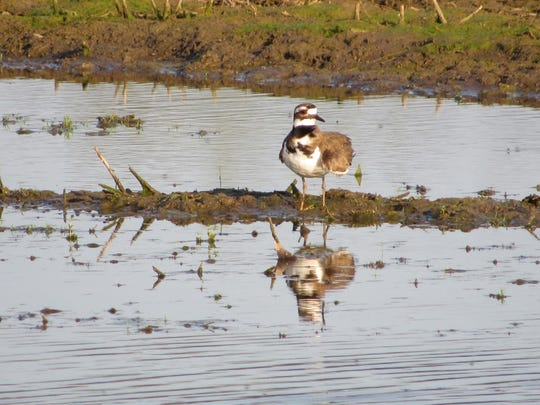 A killdeer wading in field pool.