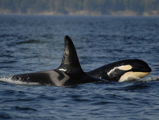 AP A WA USA Orcas California