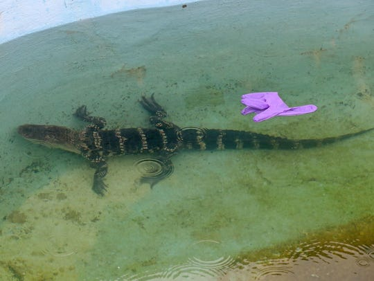 A alligator was found and removed from an outdoor pool