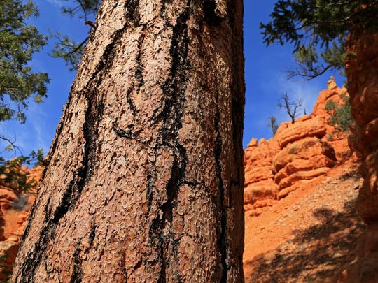 Ponderosa pines provide sweet smells along the Pink Ledges Trail in Red Canyon.