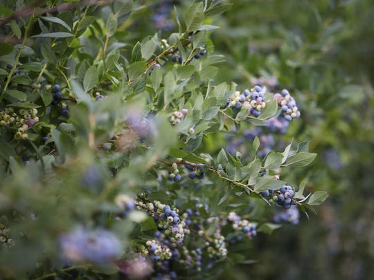Blueberries grow on a bush at Lagoner Farms.