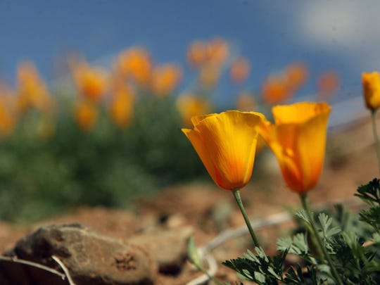 Castner poppies
