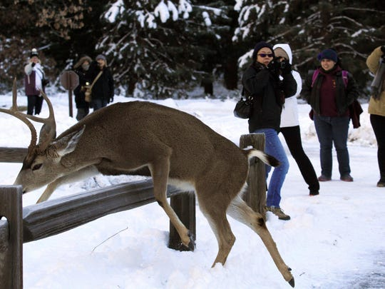 A large buck jumps a fence close to park visitors off one of the main walking trails in Yosemite Valley in Yosemite National Park, Calif., on Dec. 29, 2015.