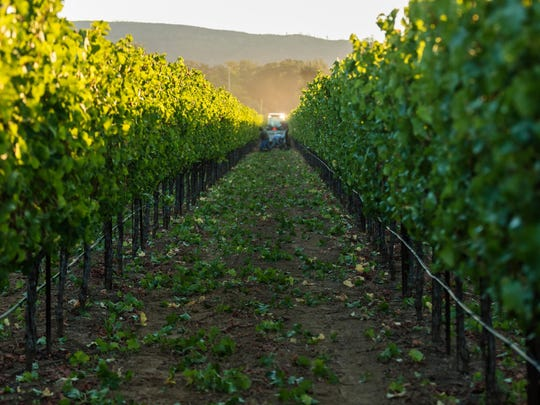 Sauvignon blanc grapes are harvested in one of the vineyards that Rombauer Vineyards draws from to produce its new sauvignon blanc.