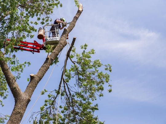 Jordan Carlson, of Rainbow Tree Care, trims an ash tree on Tuesday before cutting down the tree to prevent the spread of emerald ash borer beetle at a home in Lakeshore. The insects have killed tens of thousands of trees in Minnesota.