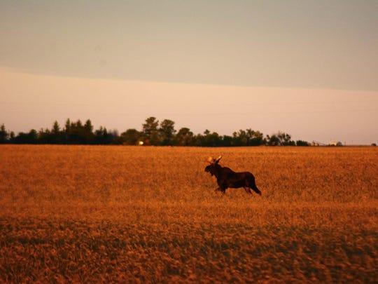 A bull moose trots across a farm field in Region 6
