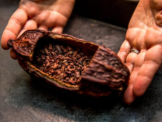 Chocolate comes from the small, fatty seeds embedded in large, reddish pods that hang off the cacao tree.