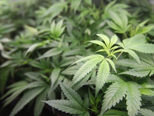 California Marijuana Big Farms