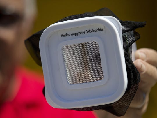 "Atechnician shows mosquitoes that are infected with a dengue-blocking bacteria called ""Wolbachia"" in Rio de Janeiro, Brazil."