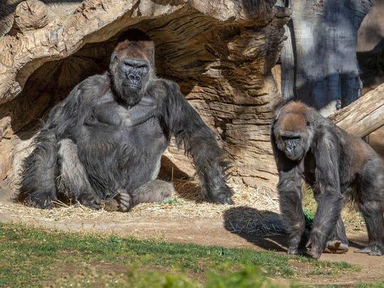 Gorillas lounge in their habitat at the San Diego Zoo Safari Park in Escondido, Calif., on Sunday.