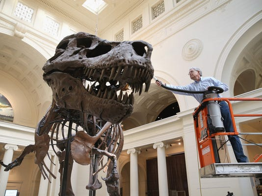 """Chicago's Field Museum Cleans Its Preserved T. Rex """"Sue"""""""