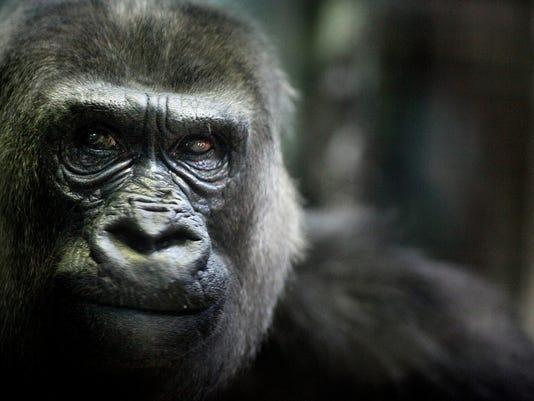 zoo_gorilla_helen.jpg