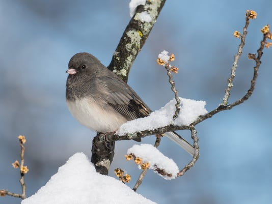 Dark-eyed Junco photo by Carl J. Mueller.jpg