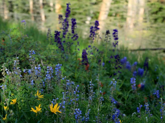 Wildflowers in a variety of colors bloom near Alpine Pond in Cedar Breaks National Monument.