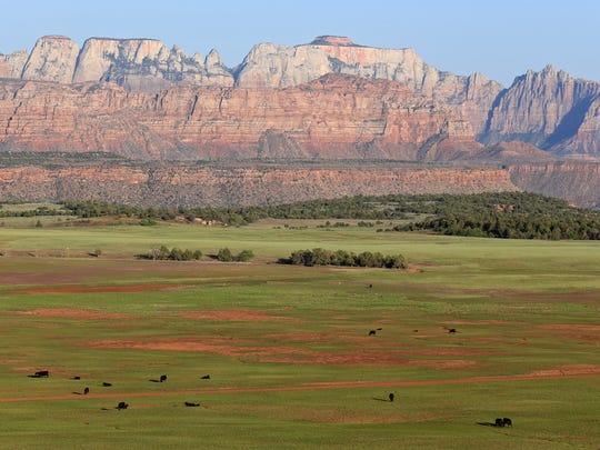 Cows graze on Smith Mesa with West Temple and other cliffs of Zion National Park in the background.
