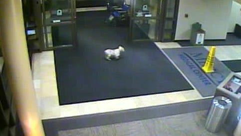 Sissy, a miniature schnauzer, was captured on surveillance video walking through Mercy Medical Center's doors and into the hospital lobby.