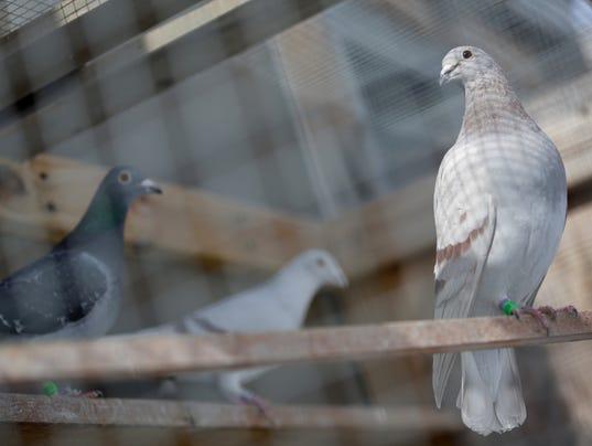 carrier pigeon law.jpg