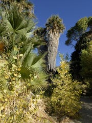 Desert Fan Palms at Cottonwood Spring.