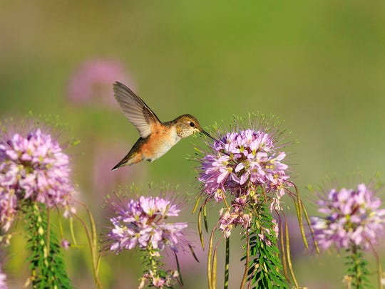 This hummingbird photograph has become one of Maria