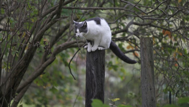A cat from a feral colony in Ontario County sits on a post.