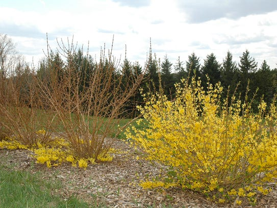 Getting forsythia shrubs' buds to survive above the