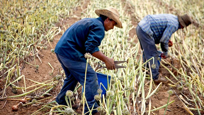 In this June 10, 2013 photo, guest worker Francisco Rosarios harvests onions in a field in Lyons, Ga.