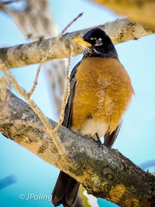 robin in a tree.jpg