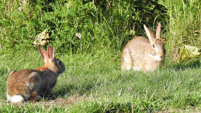 These rabbits enjoy lunchtime on a hot, sunny day near New Cemetery in Ashburnham.