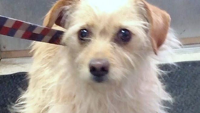 This 2-year-old female blond Terrier mix was found in the 900 block of Post. Her adoption fee is $141.31 plus tax. For more information about adopting a Pet of the Week or other furry friends visit Alamogordo Animal Control, 2910 N. Florida Ave., Monday through Saturday between noon and 5 p.m. or contact them at 439-4330 but due to the Christmas holiday, Animal Control will be closed Friday, Saturday and Monday.
