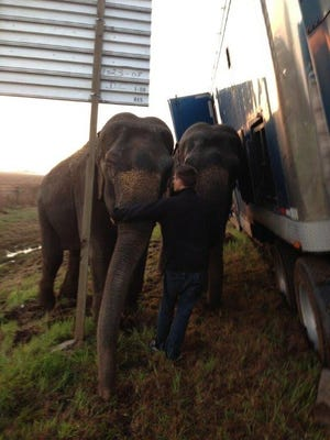 A handler stands with two elephants alongside an 18-wheeler that had been transporting them from New Orleans to Dallas Tuesday morning. The truck was in danger of flipping after getting stuck in mud along Interstate 49 in Natchitoches Parish, but the elephants steadied the vehicle until a wrecker arrived.