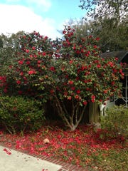 A single tree, such as a Camellia Japonica, is an effective and inexpensive way to block a view.
