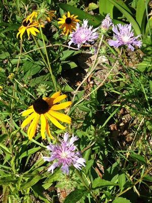 Black-eyed Susan and Stoke's aster are popular native plants in Northwest Florida gardens.