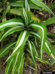 The Dracaena fragrans has variegated leaves. Dracaena plants come in various sizes with the largest growing up to 10 feet tall.
